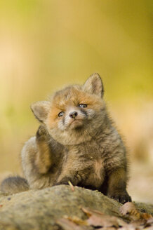 Red fox whelp - EKF00706