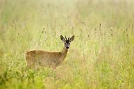Roebuck in meadow - EKF00679