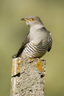 Cuckoo, close-up - EKF00661
