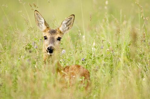 Roe deer in meadow, close-up - EKF00658