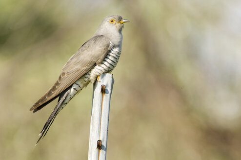Cuckoo (Cuculus canorus), close-up - EKF00655