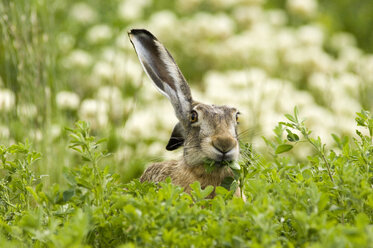 Hare in field eating leaves - EKF00649