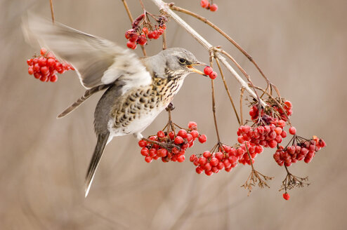 Fieldfare, Turdus pilaris, eating rowan berries - EK00742