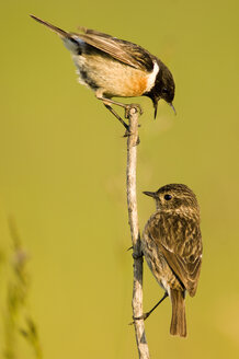 Common stonechats sitting on branch, Saxicola torguata - EK00736