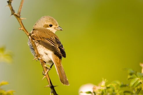 Female red-backed shrike, Lanius collurio, sitting on branch - EK00733