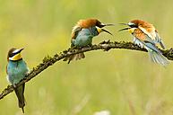 Bee-eaters sitting on branch - EK00730