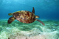 Philippines, green sea turtle (Chelonia mydas) swimming - GNF00771