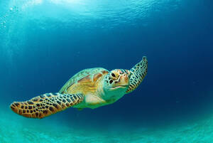 Philippines, green sea turtle (Chelonia mydas) swimming - GNF00756