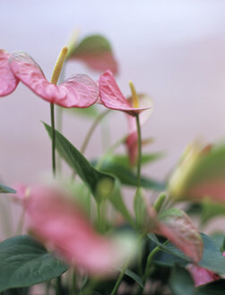 Anthurium flowers - HOE00231