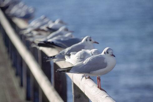 Germany, Bavaria, Starnberger See, seagulls sitting on railing - UMF00141