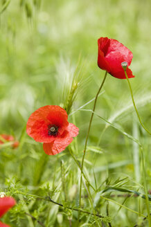 Corn poppy in meadow, close-up - MRF00776
