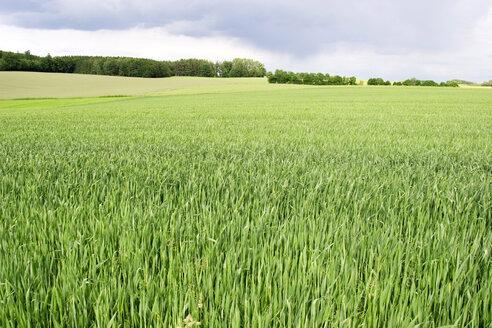 Corn field - LFF00048