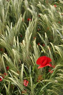 Poppy in field - LFF00039