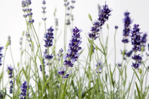Lavender flowers, close-up - GWF00371