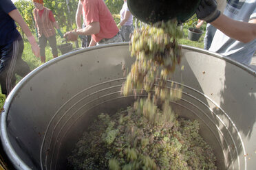 Wine harvest in vineyard - WESTF03814