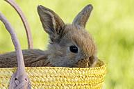 Rabbit sitting in basket, close-up - ASF02953