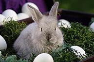 Rabbit sitting in nest - ASF02947