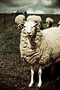 Sheeps in meadow - DW00047