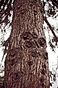 Conifer tree, low angle view - DW00034