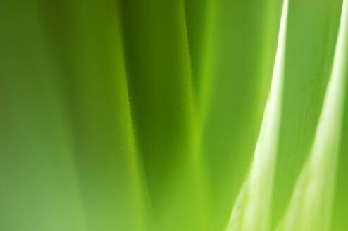 Tulip stalk, close-up - SMF00062