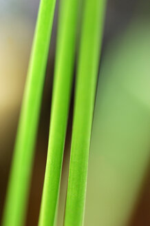 Reed, close-up - SMF00059