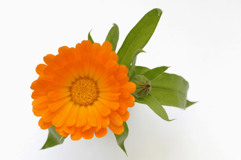 Marigold (Calendula officinalis), close-up - CRF01127