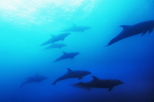 Dolphins, Galapagos - MBF00682
