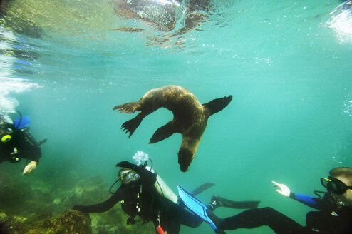 GalapagosSea Lion and divers, close-up - MBF00679