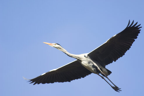 Grey heron, flying - EKF00844