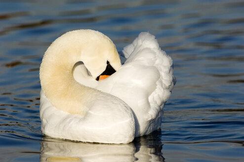 Mute swan, close-up - EKF00826