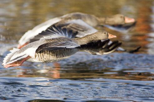 Grey geese on lake - EKF00823