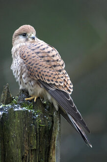 Kestrel sitting on tree trunk - EKF00790