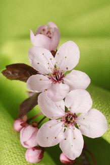 Cherry blossoms, close-up - 00281LR-U