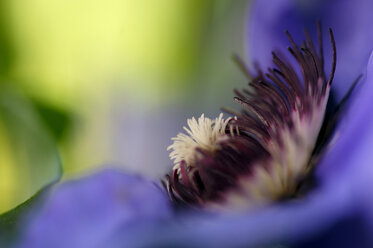 Clematis, close-up - SMF00142