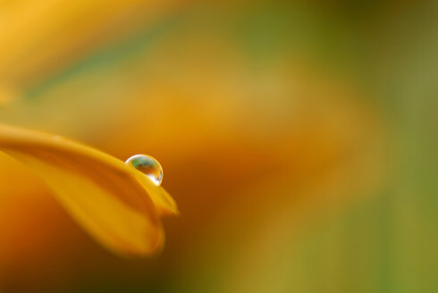 Calendula with raindrop, close-up - SMF00136