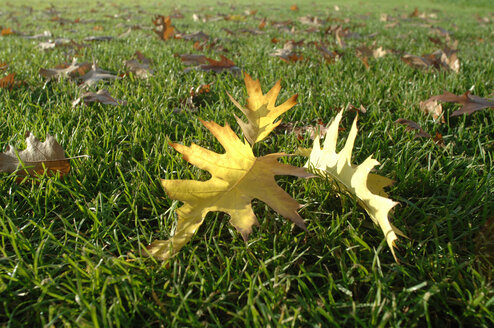 Autumn leaves on lawn, close-up - CRF01199