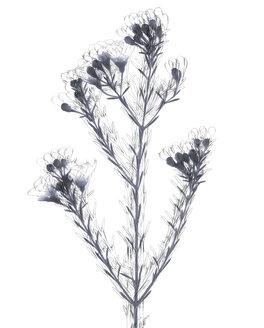 Wax flower (Hoya carnosa) - TLF00172