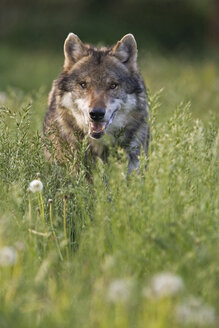 European gray wolf, (Canis lupus), close-up - FOF00301