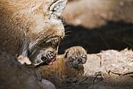 European Lynx with cub, close-up - FOF00286