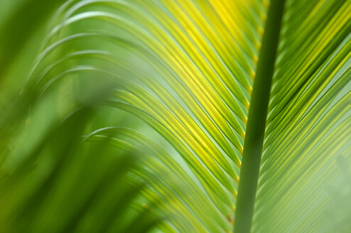 King Sago Palm,Cycas revoluta,  close-up - SMF00175