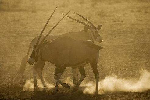 Oryx gazelles, close-up - FOF00359