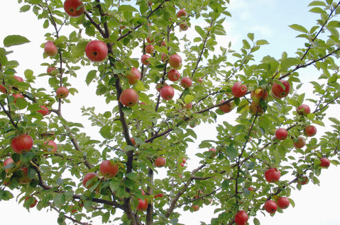Germany, Bavaria, Tree with apples, close-up - CRF01333