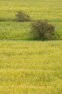 Germany, field of corn, trees in background - SMF00225