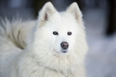 White Siberian husky - HKF00058