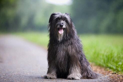 Border Collie Dog sitting on street - HKF00051
