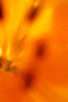 Lilie (Lilium), close up - SMF00286