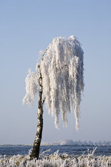 Germany, Lower Saxony, Vahrendorf, snow-covered tree - SEF00030