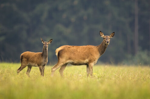 Doe and deer calf (cervus elaphus) - EKF00902