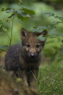 Grey wolf pup (Canis lupus) - EKF00893