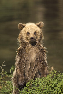 European Brown bear (Ursus arctos) - EKF00890